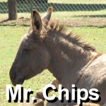 mr chips